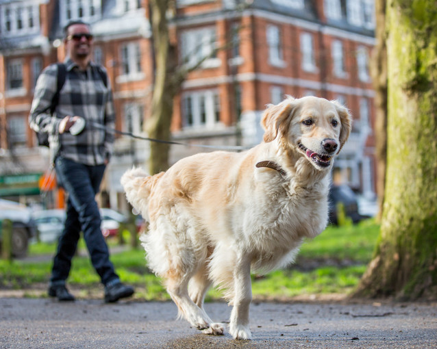Golden Retriever with a missing leg - London