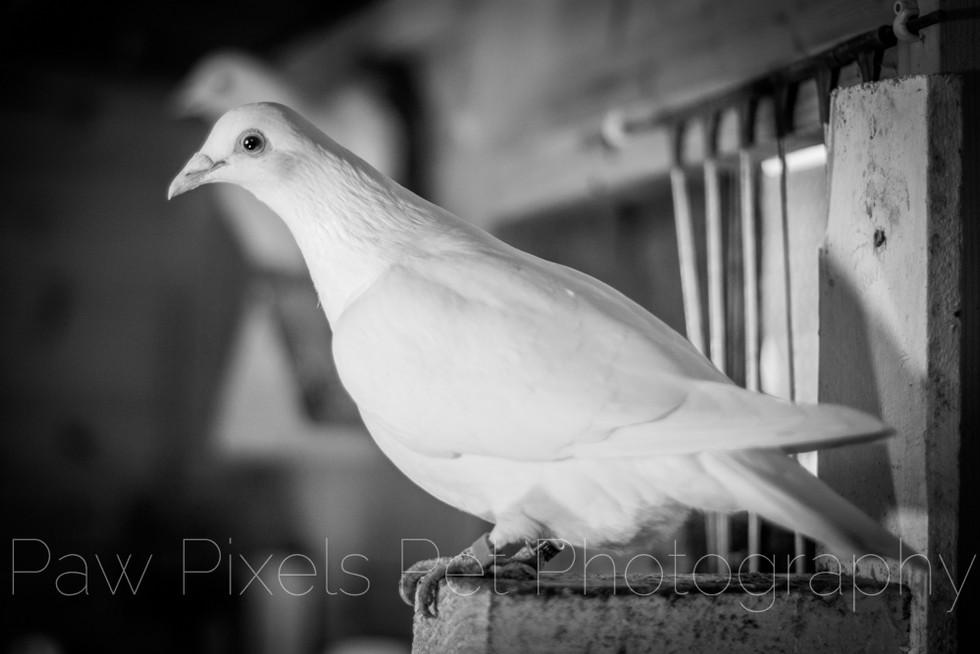 Haven Dove Release