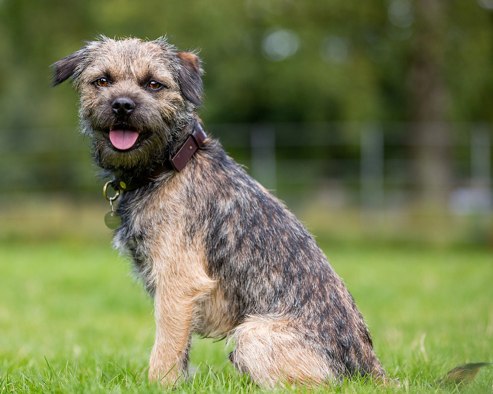 Dog photography in London. Monty the border terrier posing for a shot