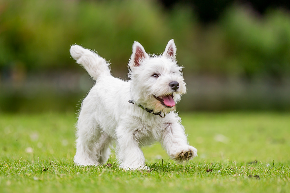 Amimal photography in London. West Highland Terrier - Hector