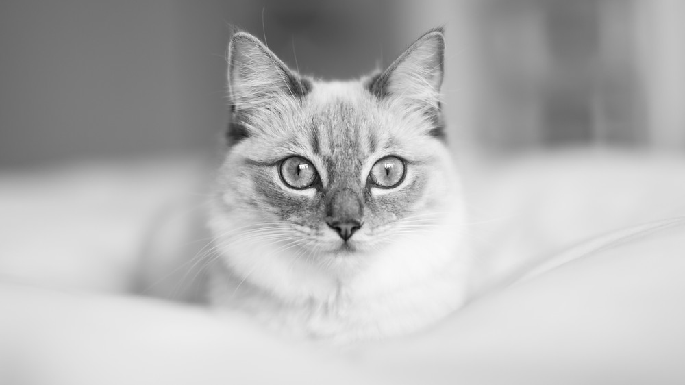 Cat photography in London. Siamese cat in black and white