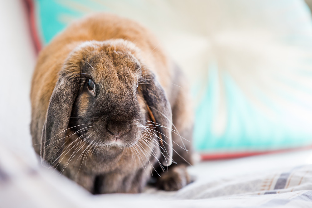 Pet photography in London. Dennis the rabbit