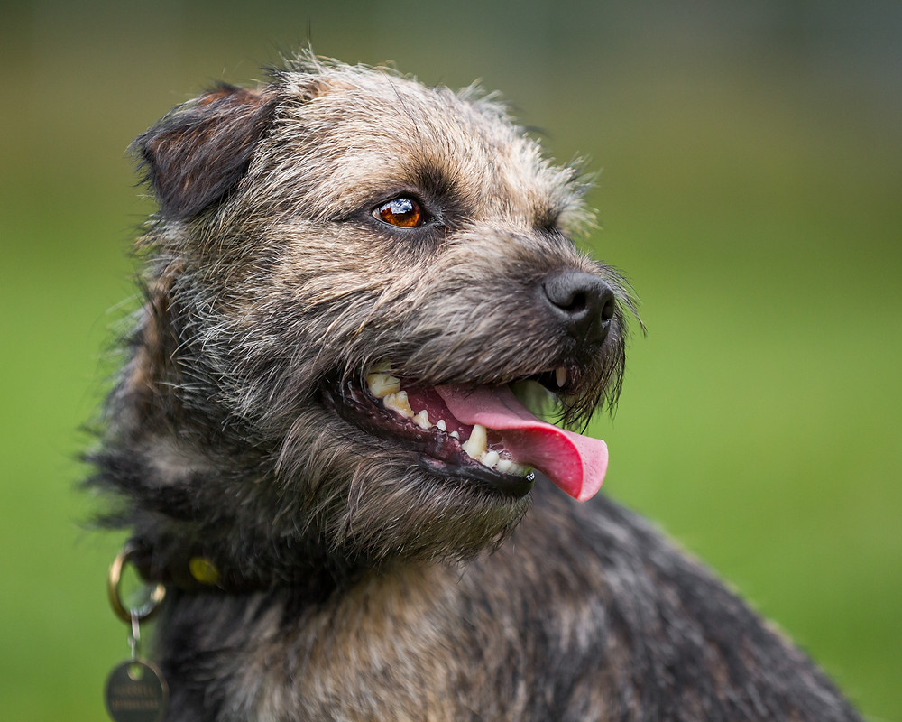 Dog photography in London. Monty the border terrier portrait