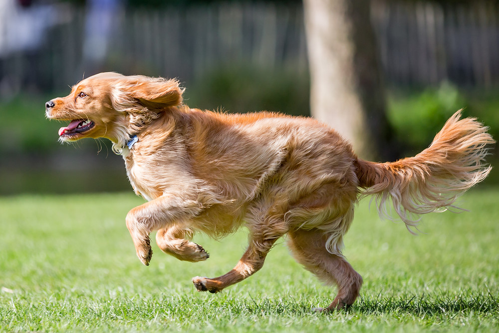 Pet photography in London. Parker Running