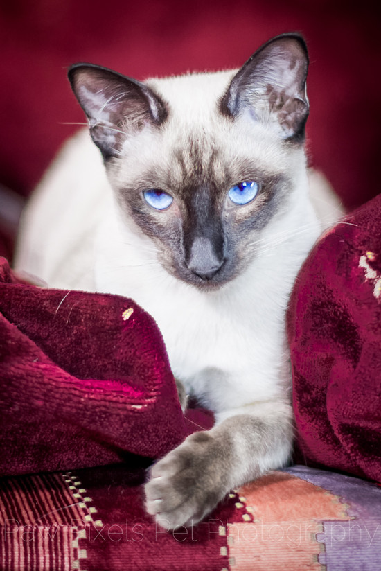 Xena the Seal Point Siamese cat