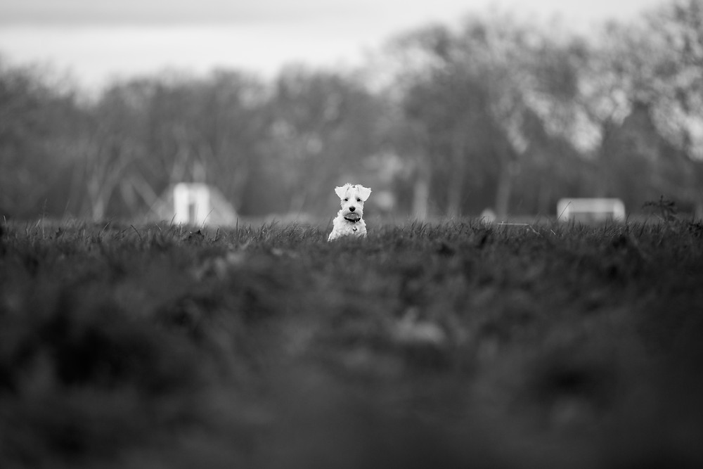 Dog photography in London. Charley the Miniature Schnauzer feeling a little lost!