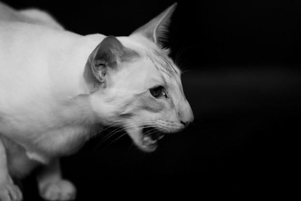 Ivy - Siamese Cat - London