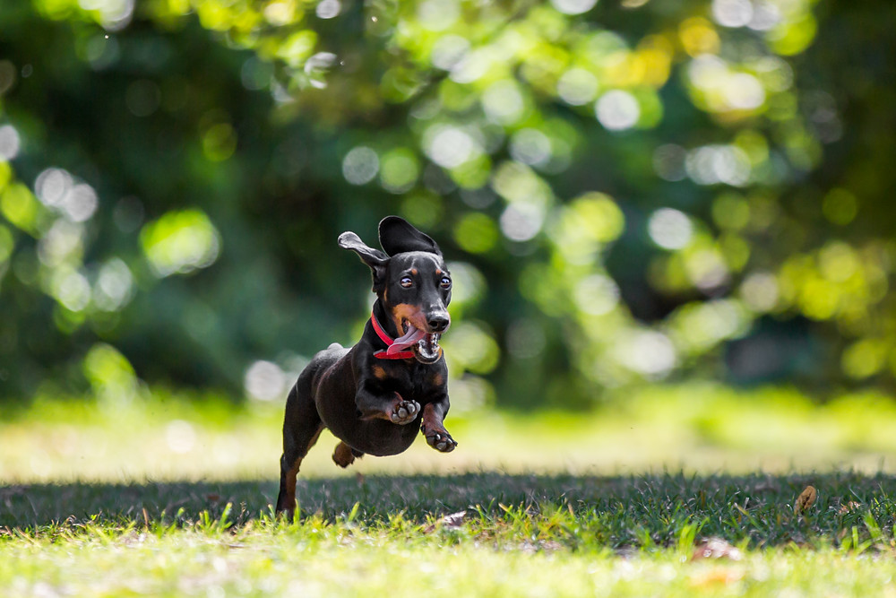Dog photography in London. Dachshund - Dexter jumping in the park