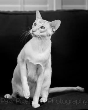 Siamese cat on the sofa at home in London.  Cat photography in London.  Pet photography by Ian McGlasham.