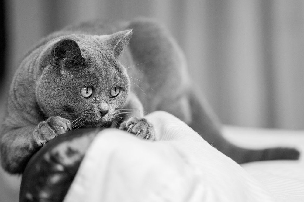 Cat photography in London. Dusty British Blue cat