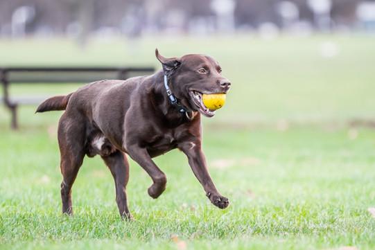 Oban - Chocolate Labrador
