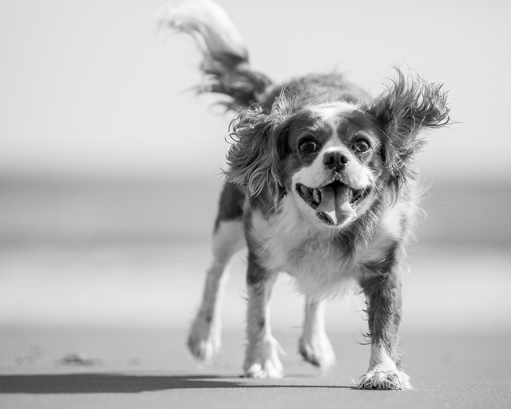 Pet photography in London. King Charles Spaniel, Tiffany