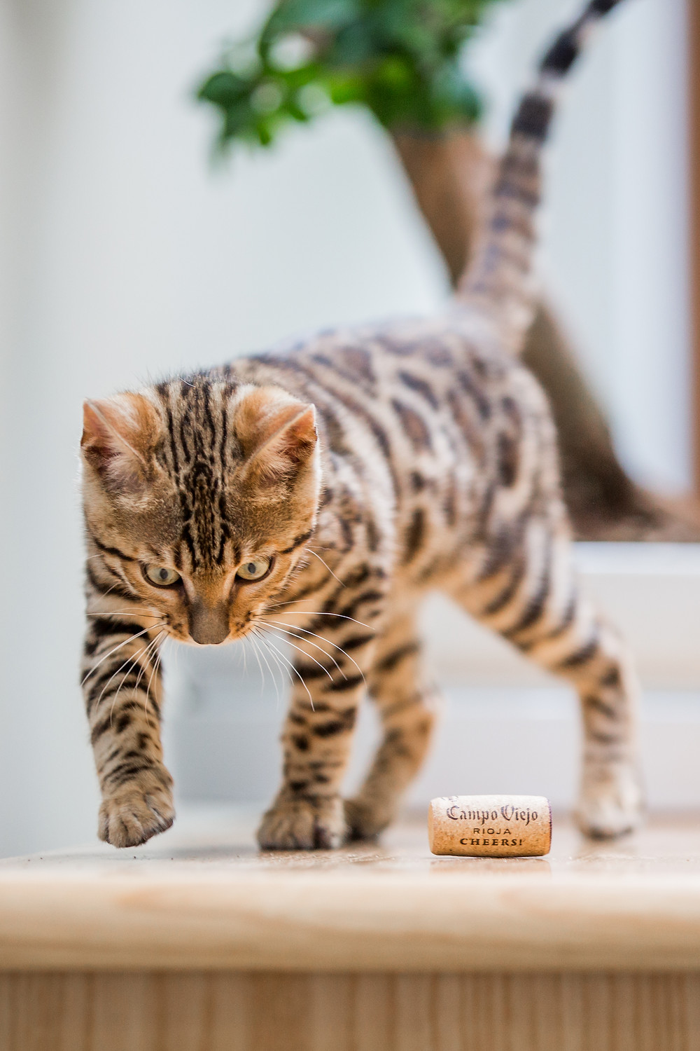 Cat photography in London. Bagheera the Bengal Kitten playing with a cork