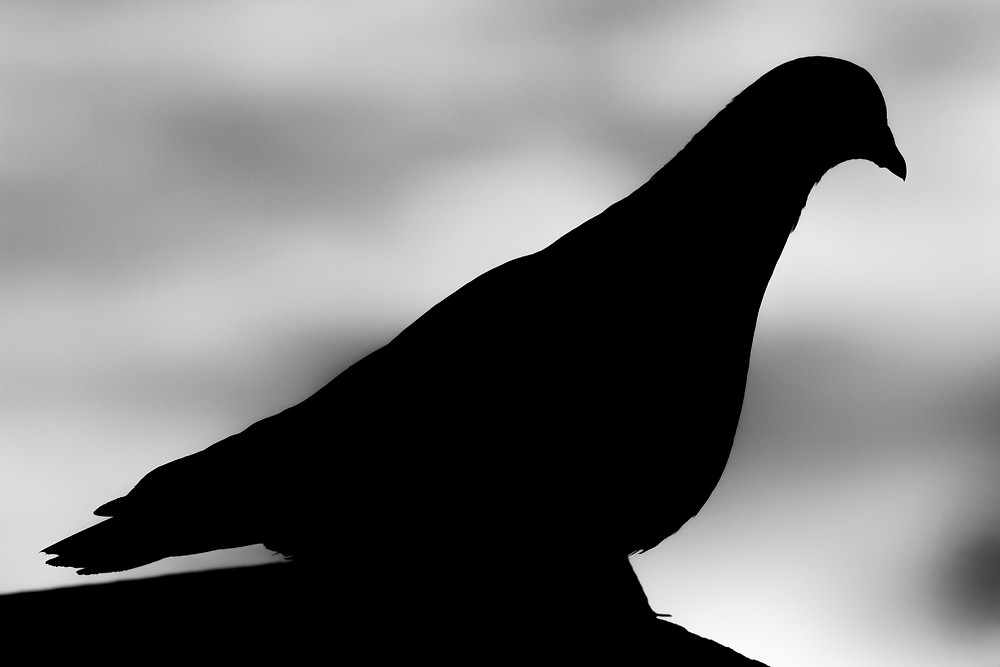 Animal photography in the UK. White dove silhouette