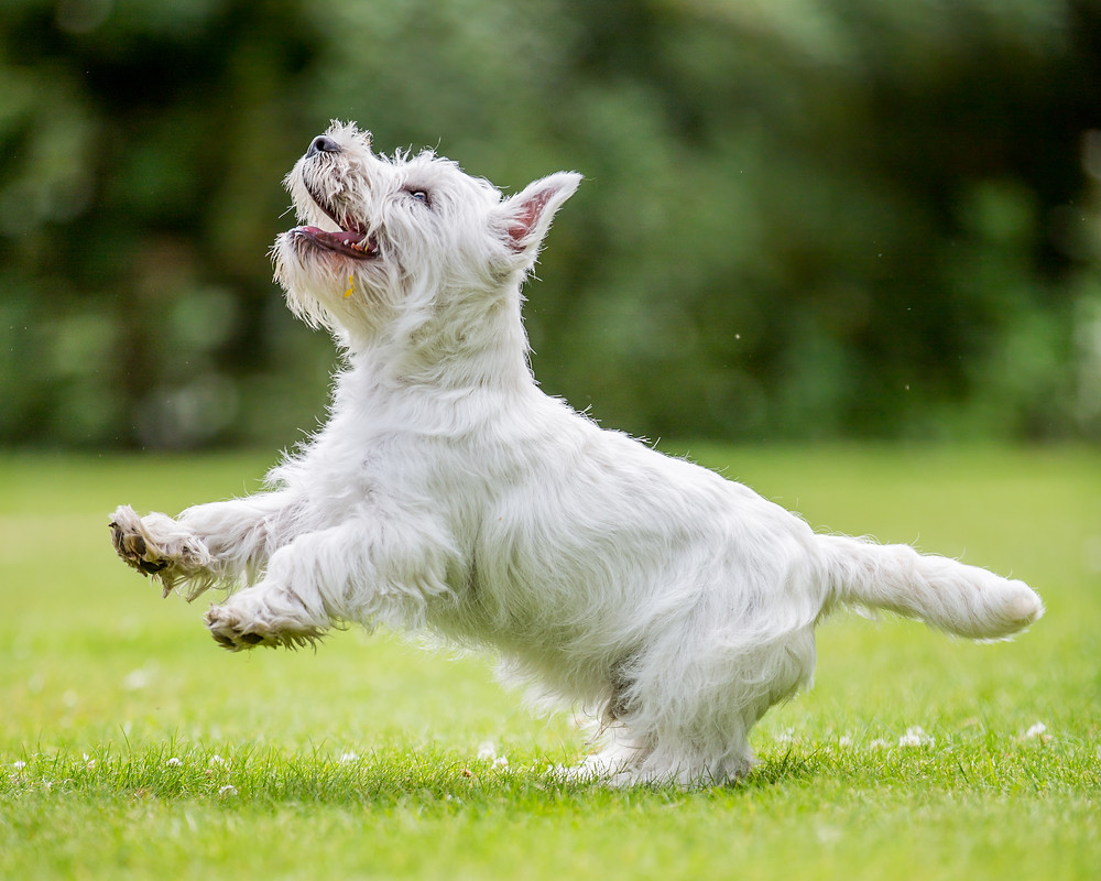 Animal photography in London. West Highland Terrier - Hector