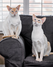 Two Siamese cats together on the sofa at home in London.  Cat photography in London.  Pet photography by Ian McGlasham.
