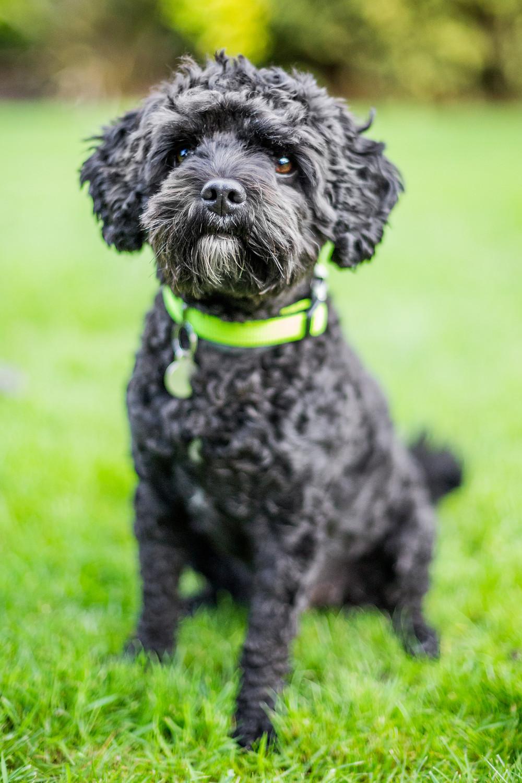 Dog photography in London. Milo the cavapoo portrait