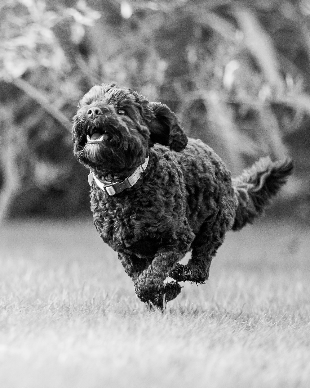 Dog photography in London. Milo the cavapoo running
