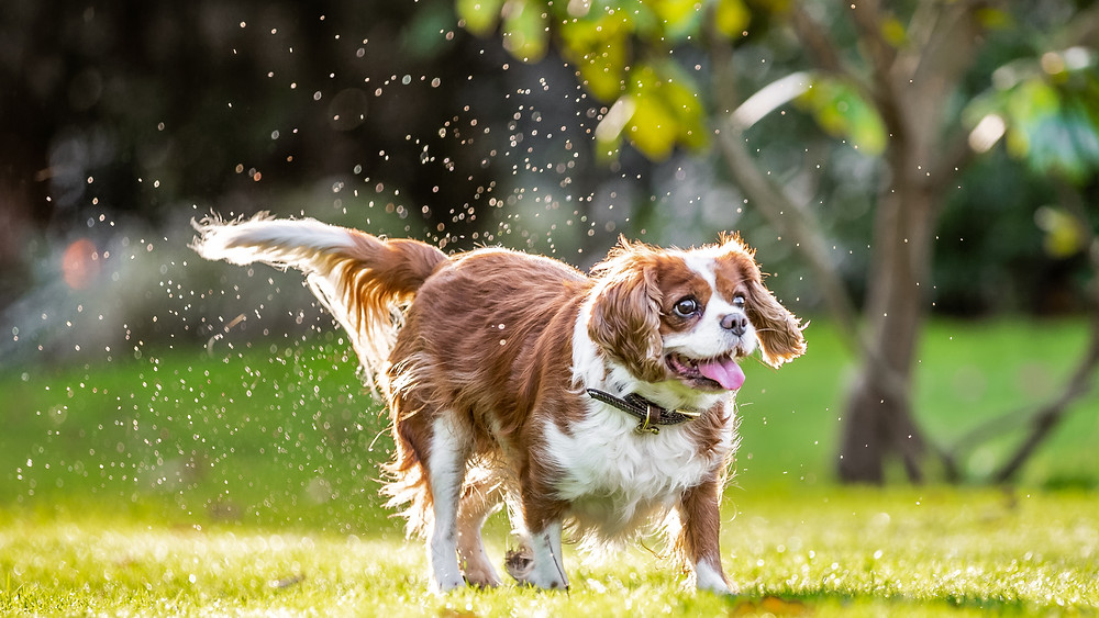 Dog Photography in London, Tiffany the King Charles Spaniel running through the wet grass