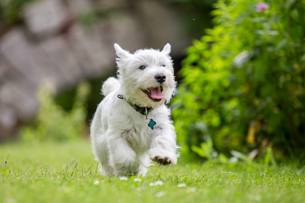 Pet photography in London. West Highland Terrier - Hector