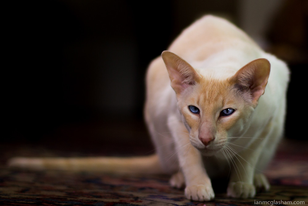 Cat photography in London. Ivy the Peach Point Siamese Cat hunting at home.