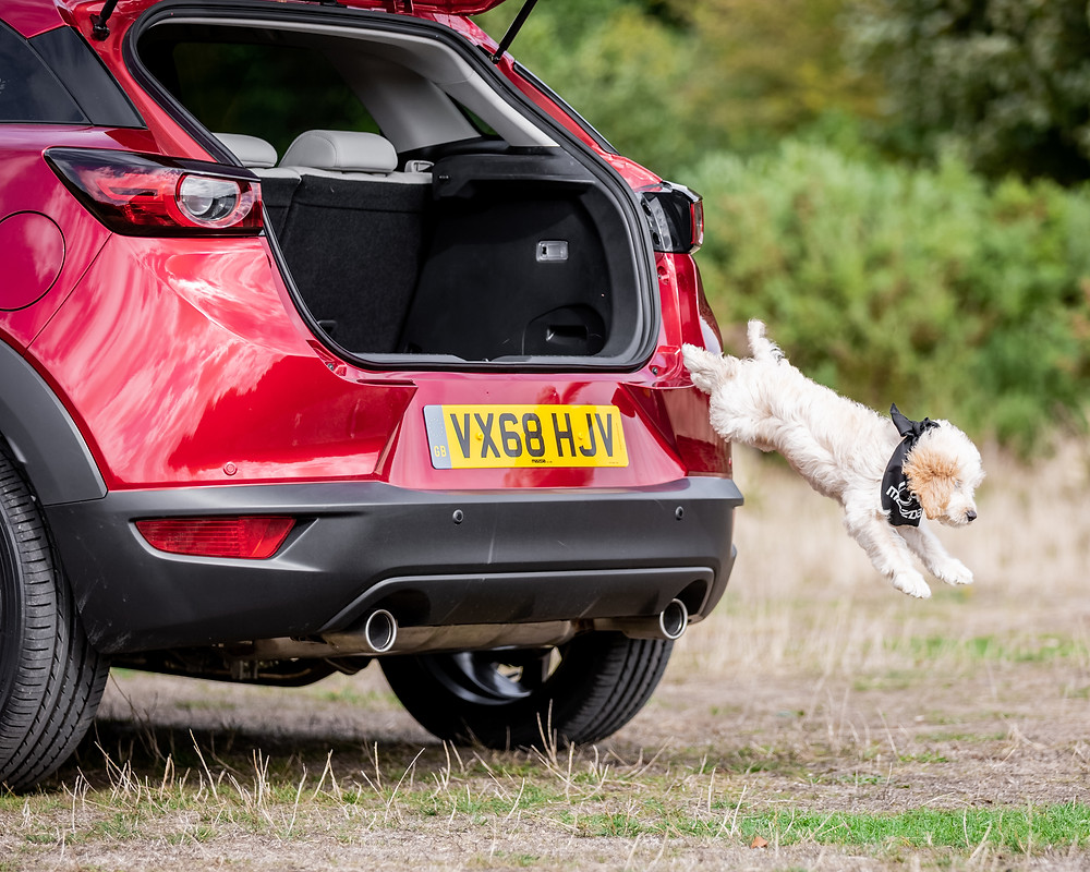 Dog photography in London.  Dog leaping out of the boot of a car on Coombe Hill, Chiltern for Mazda CX-5. #dogsinboots