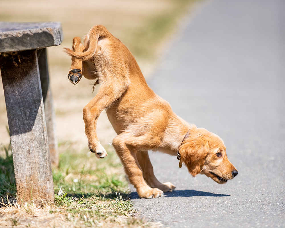 Dog Photography in London, puppy jumping down from a bench in Regents Park, London