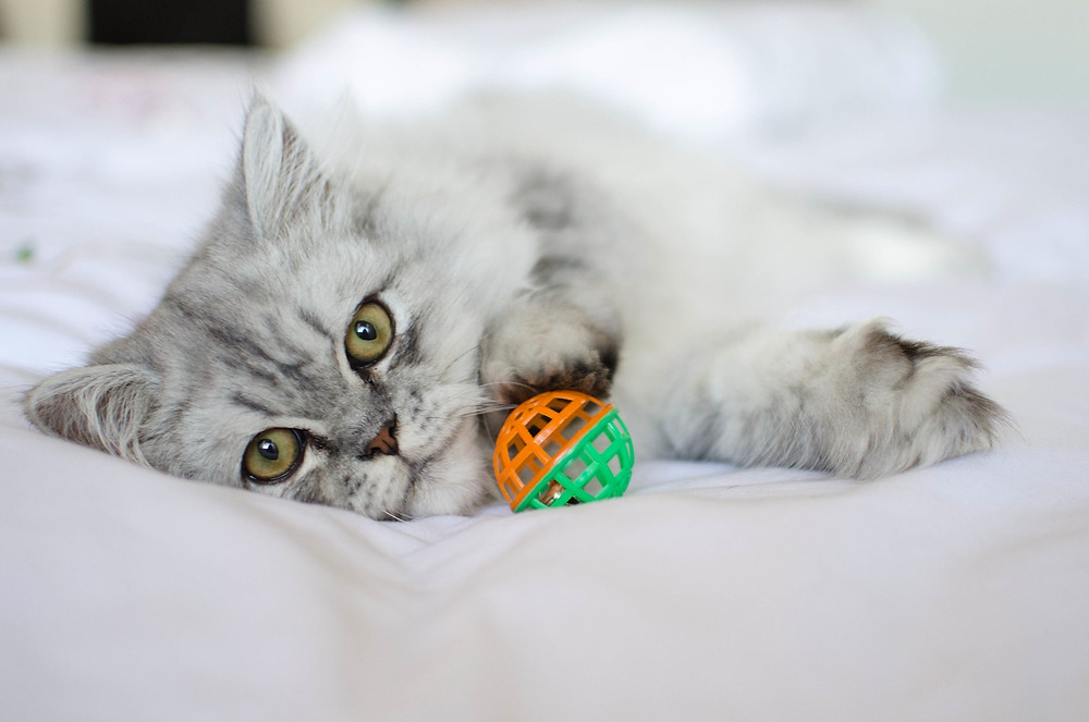Cat photography in Cape Town. Milan playing with a ball.