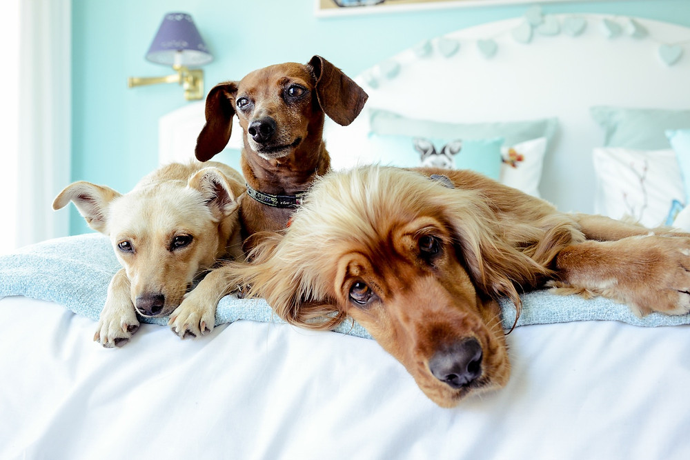 Dog photography in Cape Town. Frodo, Milo and Peanut on the bed
