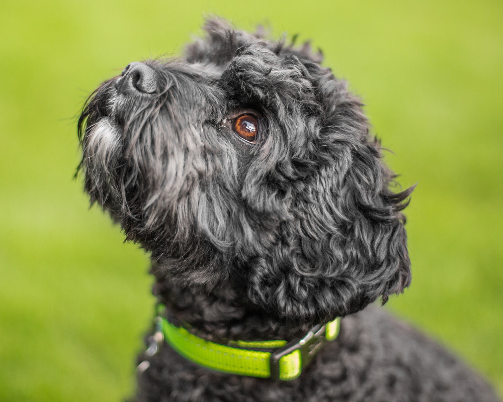 Dog photography in London. Milo the cavapoo.