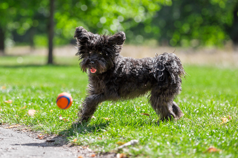 Franky - Schnoodle - London