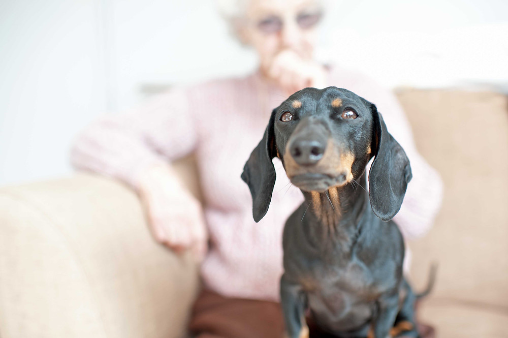 Pet photography in Cape Town. Missy the dachshund.
