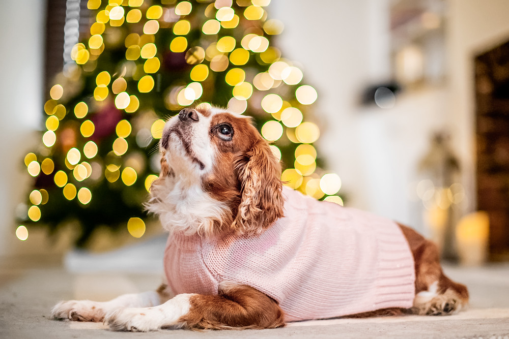 Dog Photography in London, Tiffany the King Charles Spaniel by the Christmas Tree