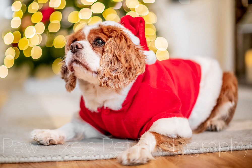 Dog photography in London. Tiffany the King Charles Spaniel