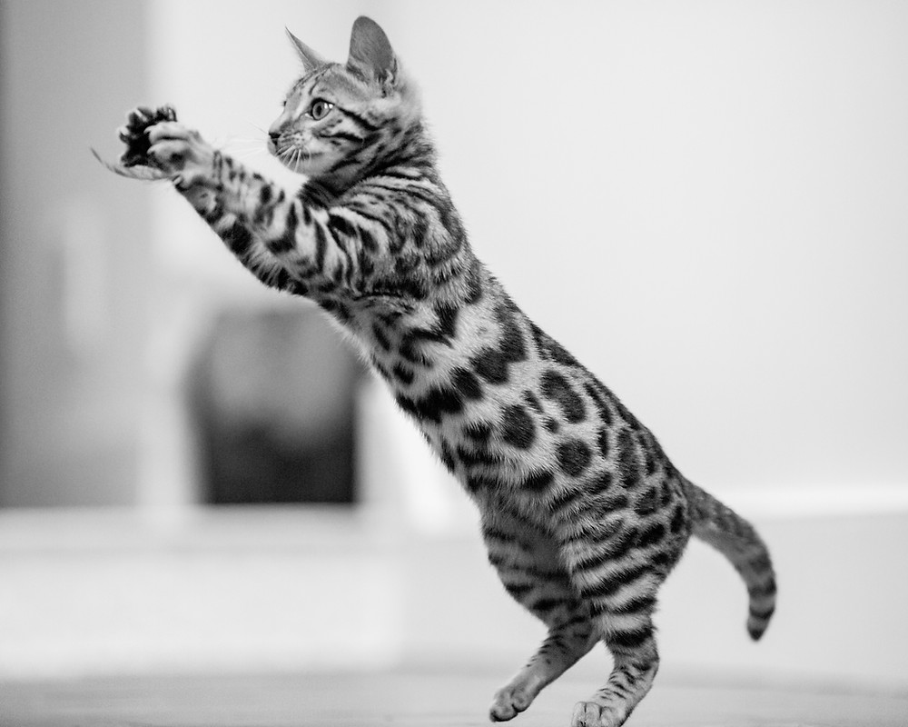 Cat photography in London. Bagheera the Bengal Kitten catching a leaf.