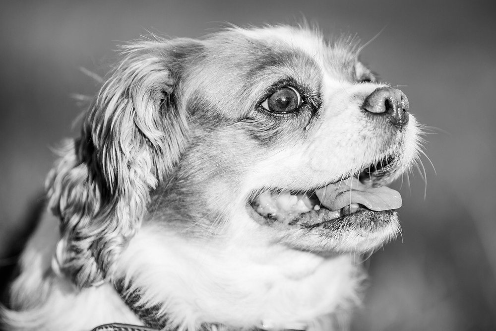 Dog Phtography in London, Tiffany the King Charles Spaniel smiling