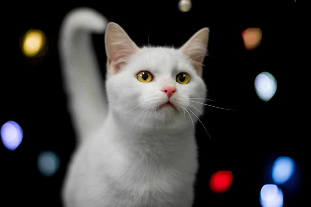 Recue animal photography in London. A white cat for a Christmas charity shoot