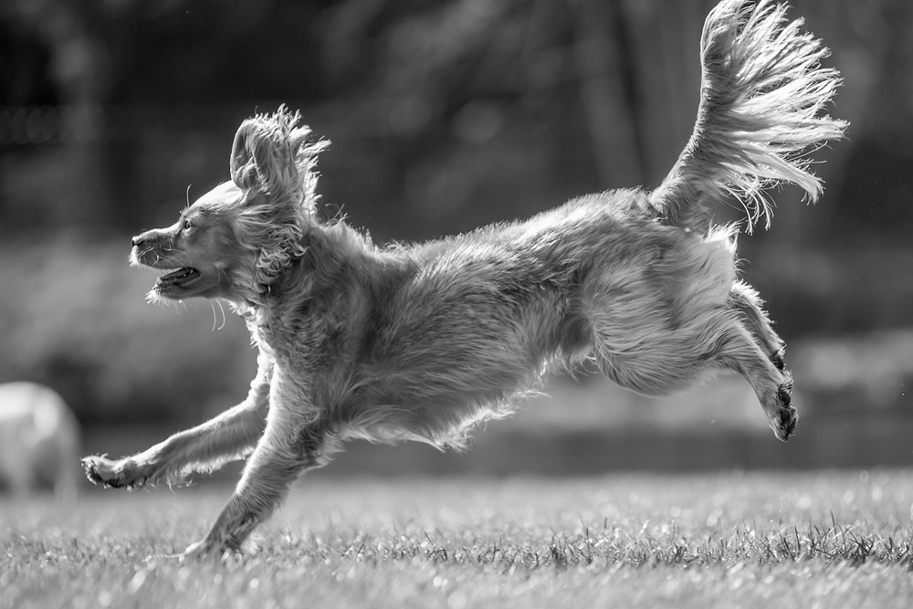 Dog photography in London. Parker running to the water