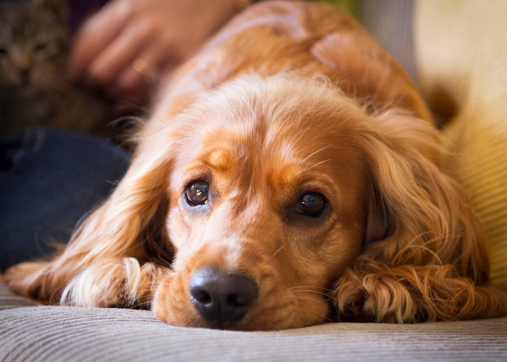 Dog photography in Cape Town - Sammy the spaniel resting on the sofa
