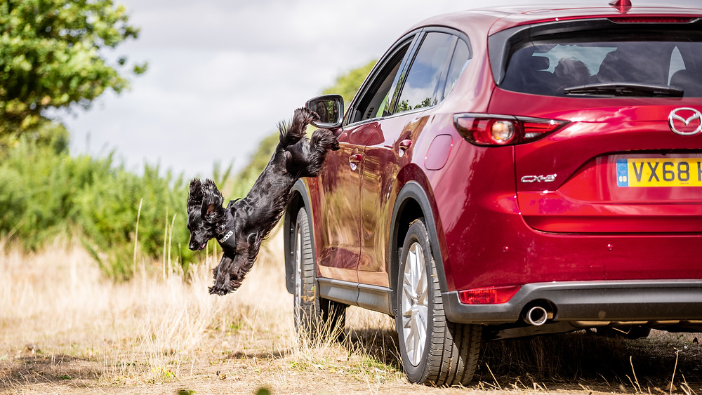 Dog photography in London.  Lily jumping out of a car window on Coombe Hill, Chiltern for Mazda CX-5. #dogsinboots