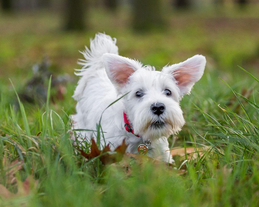 Dog photography in London. Charley the Miniature Schnauzer playing