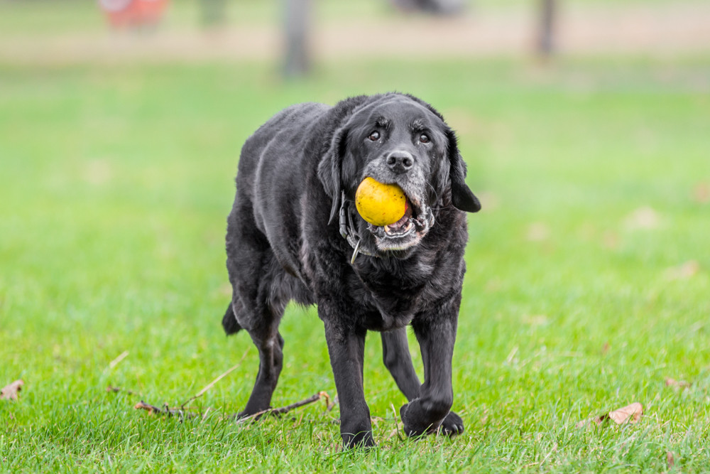 Dog Photography in London.  Oban the Black Lab Walking with his ball on Clapham Common in London