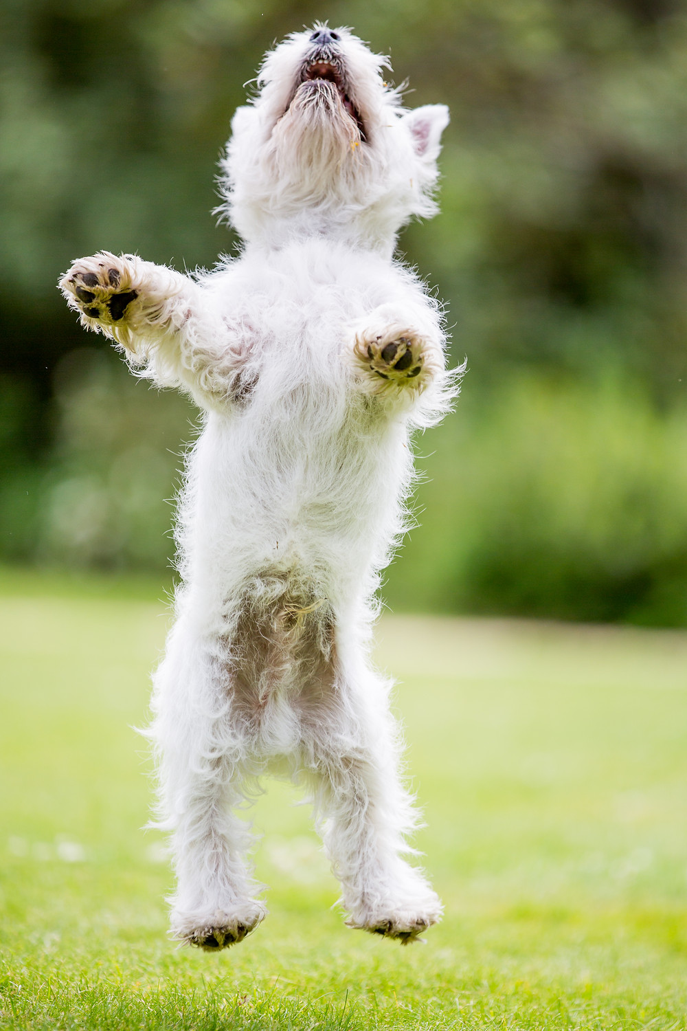 pet photography in London. West Highland Terrier - Hector jumping
