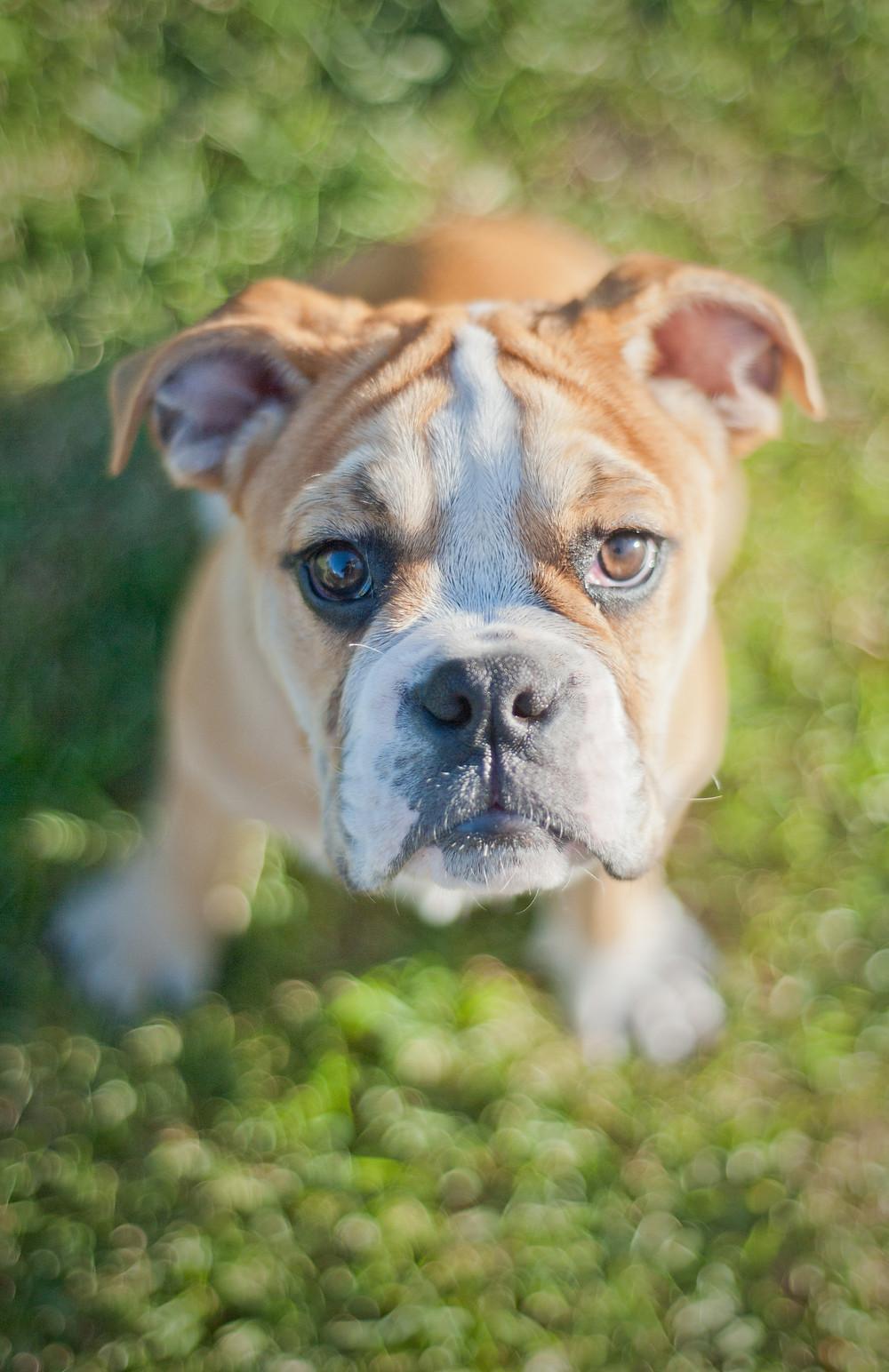 Dog photography in Cape Town. Hugo the British Bulldog.