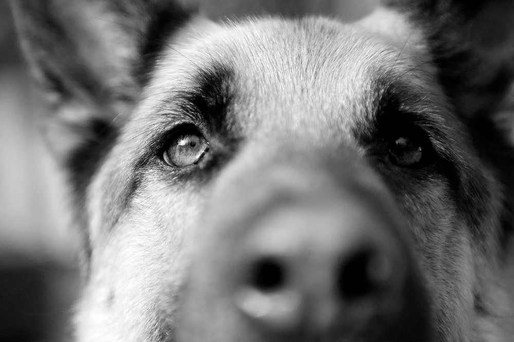Dog photography in Oxford. Frank the German Shepherd