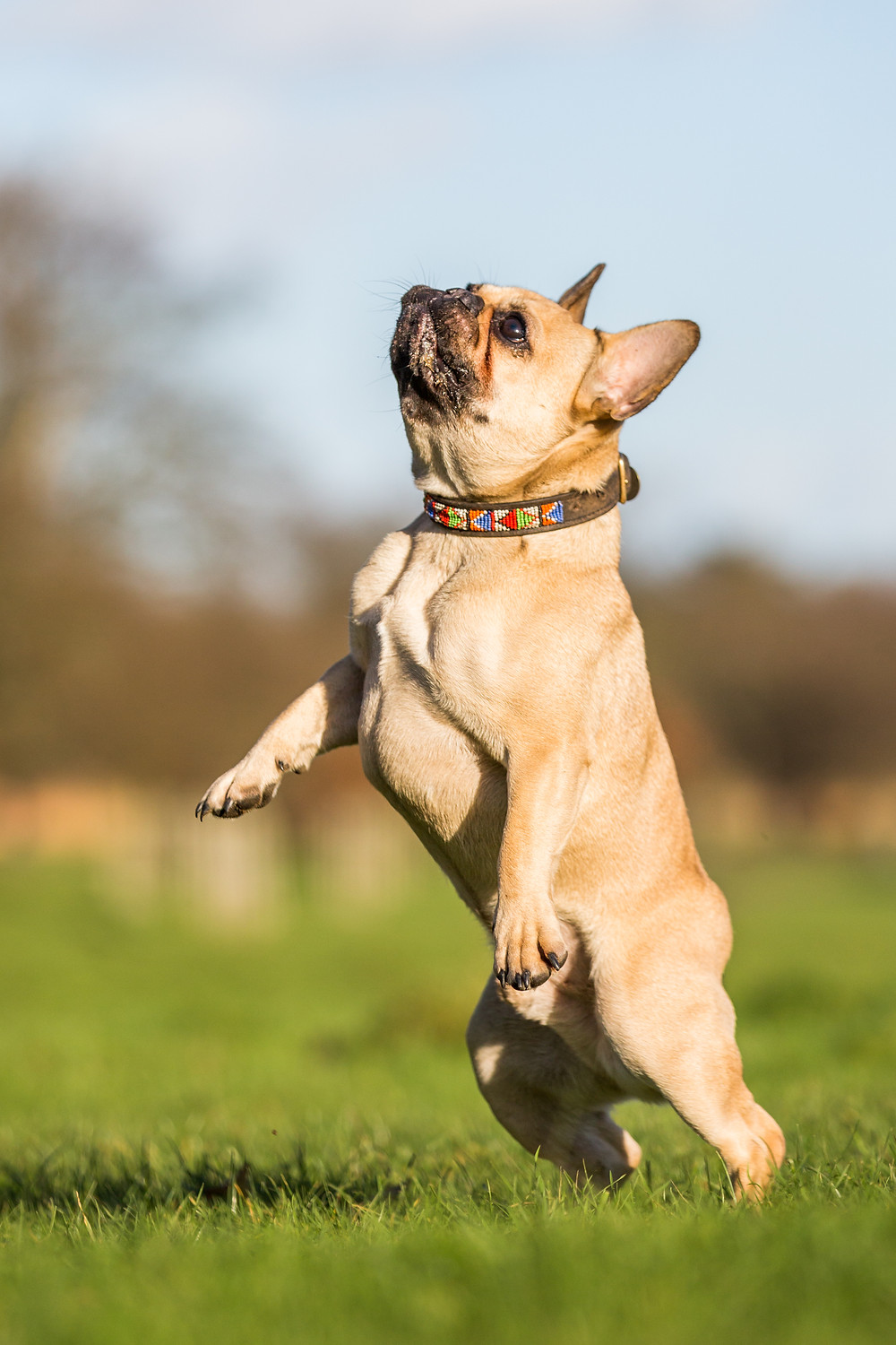 Dog photography in London. Bear the French Bulldog jumping
