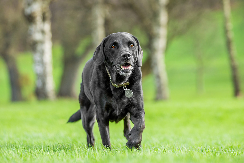 Dog photography in London. Isaac the black Labrador.