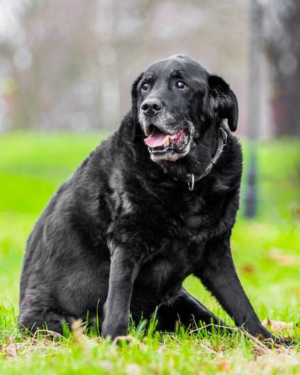 Talisker the black labrador