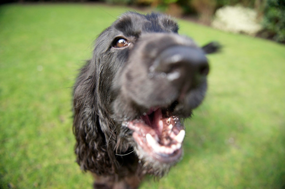 Dog photography in Oxford. Zola the spaniel having fun with the camera