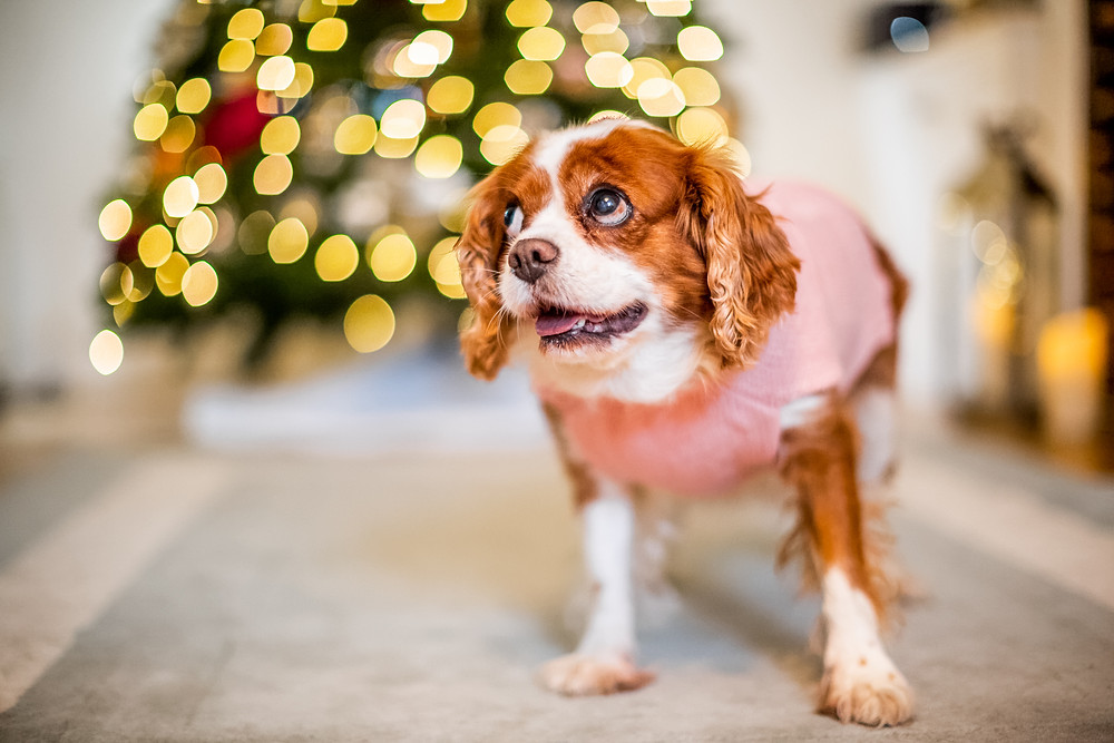 Dog Photography in London, Tiffany the King Charles Spaniel in her Christmas sweater
